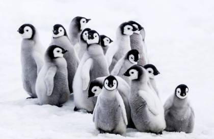 pingvinekvandorlasa01